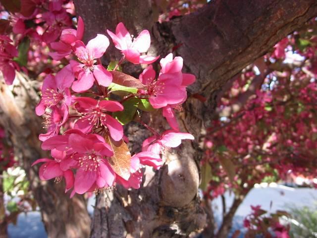 Name the flowering tree cyberhobo rose blossoming tree mightylinksfo